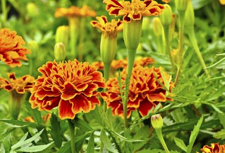 Flori de vara - Fiori da giardino primavera estate ...