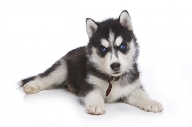 🐾 Cinci lucruri pe care trebuie să le cunoașteți înainte de a adopta un Husky siberian -