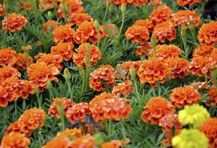 Flori De Gradina Care Infloresc Toata Vara