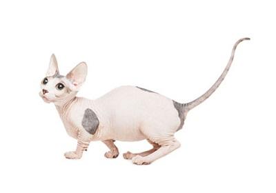 pisica bambino