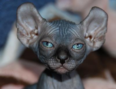 pisica donskoy