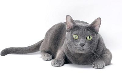 pisica korat