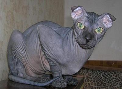 pisica levkoy