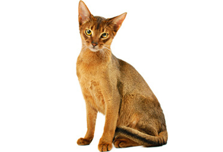 rasa de pisici Abisiniana