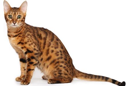 rasa de pisici Bengaleza