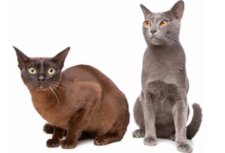 rasa de pisici Burmeza
