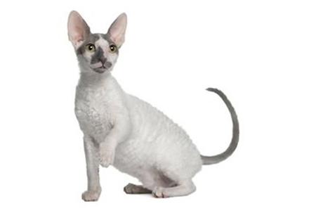 rasa de pisici Cornish Rex