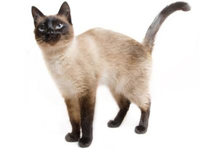 rasa de pisici siameza