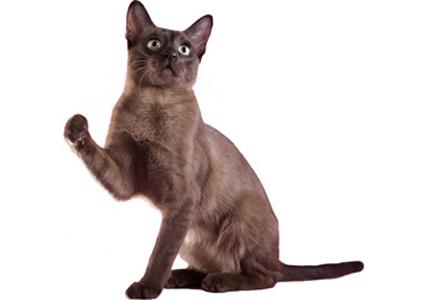 rasa de pisici Tonkinese