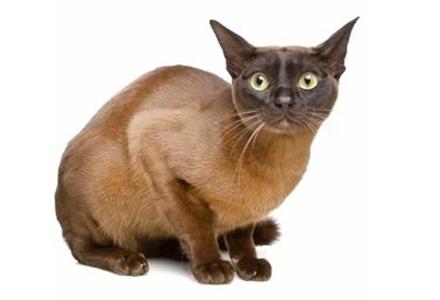 rasa de pisici Burmeza Europeana