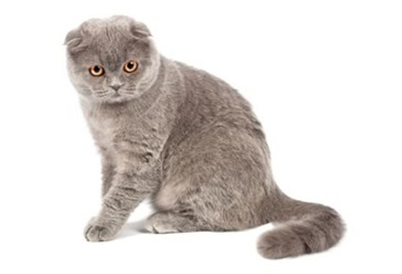 rasa de pisici Scottish Fold