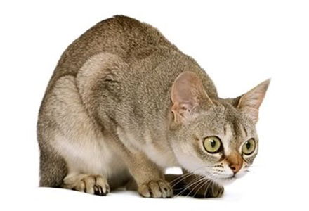 rasa de pisici singapura
