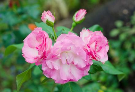 Trandafirul de Damasc