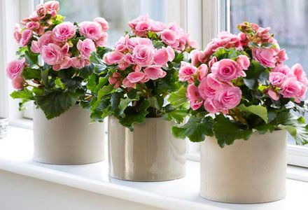 flori de camera frumoase