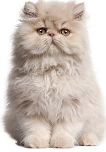 pisica strufoasa