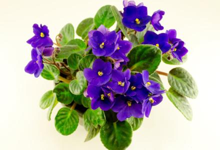 violete in ghiveci