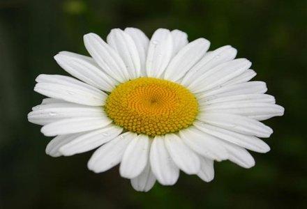 floare margareta