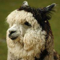 poza capra alpaca