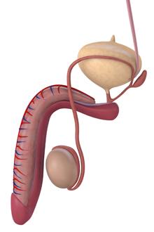 intretinerea penisului