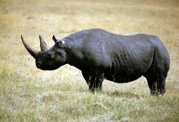 rinocerul în timpul sarcinii)